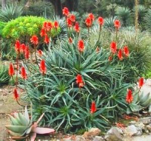Aloe_arborescens2