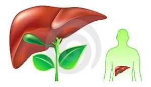 fegato-umano