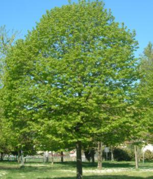 Il tiglio un antico rimedio per tanti malesseri la for Tiglio albero