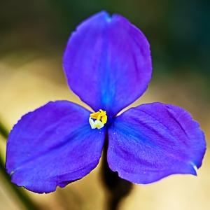bush-iris
