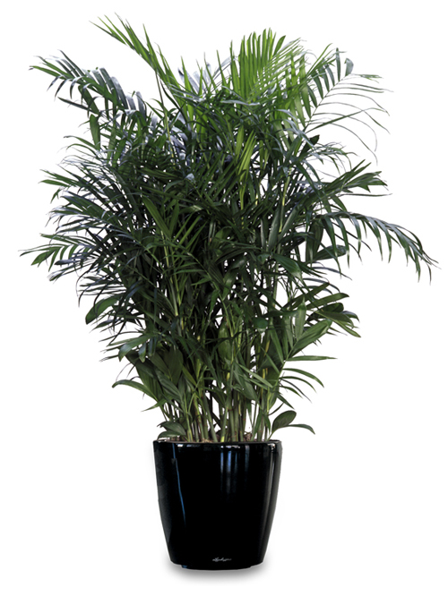 bamboo-palm Palm House Indoor Plants Buy on names of the palms for house plants, indoor house plant care, indoor palm berries, indoor pond plants, indoor palm plant identification, indoor tree plants, tropical house plants, best indoor plants, indoor garden plants, cold hardy house plants, indoor palm propagation, indoor houseplants identification, indoor palm seeds, indoor palm bushes, large indoor plants, common indoor plants, names of indoor plants, indoor palm plant diseases, indoor greenhouse plants, indoor spring plants,