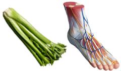 celery_bone_structure
