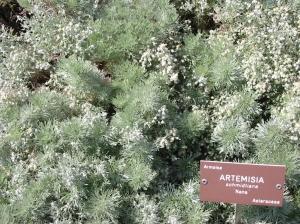 Artemisia_schmidtiana