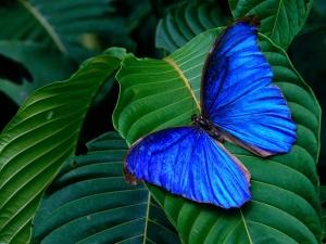 farfalla_blu