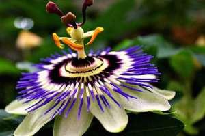 innaffiatura-passiflora