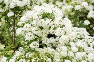 White spiraea blossom