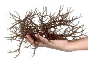 mano-che-tiene-alga-bruna-fresca-23112875