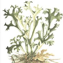 lichene-islandico