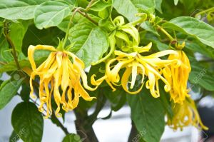 15157617-ylang-ylang-flower-on-tree-for-the-manufacture-of-essential-oil-stock-photo